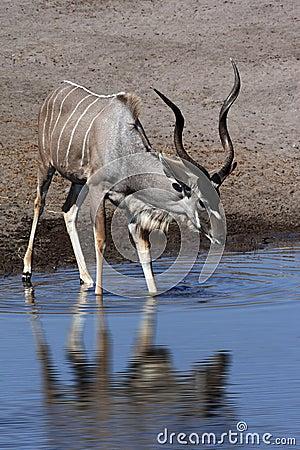 Free Kudu Drinking At A Waterhole - Namibia Stock Photography - 22572562