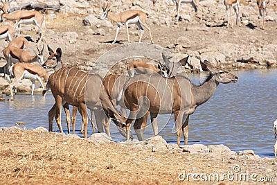 Kudu in Etosha