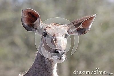 Kudu ewe