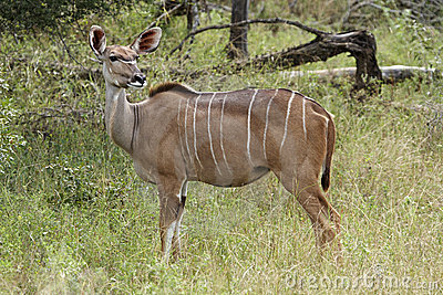 Kudu ewe on alert in the bushveld