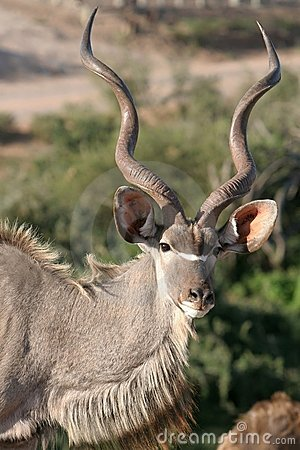 Kudu Male Buck