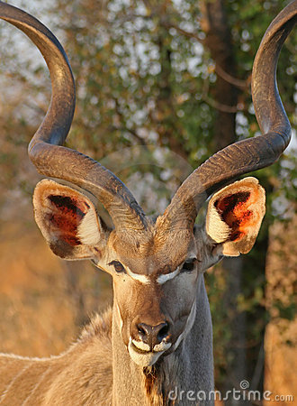 Free Kudu Portrait Royalty Free Stock Photography - 5002287