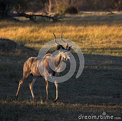 Kudu (Tragelaphus strepsiceros) - Botswana