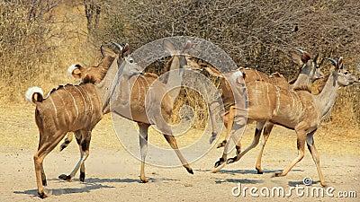 Kudu Trot - African Antelope