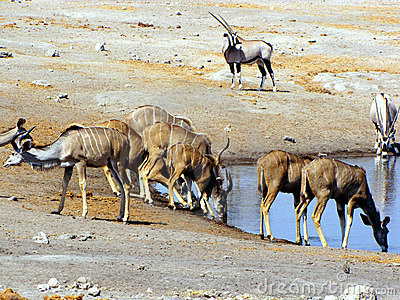 Kudus at waterhole
