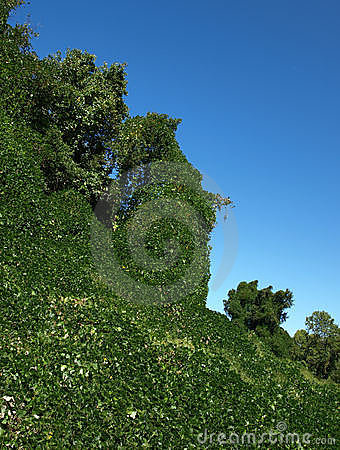 Kudzu everywhere