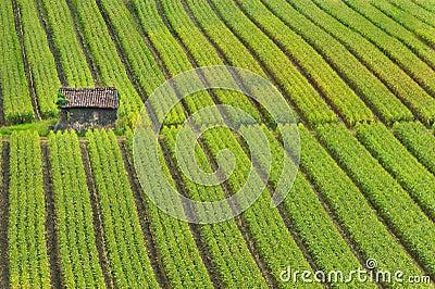 Kukurudzy pole