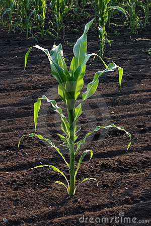 Kukurydzany badyl