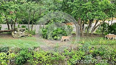 Kumar Puma concolor to wielki felid z podrodziny Felinae Ze względu na swój szeroki zakres, ma wiele nazwisk, w tym pumę, m zdjęcie wideo