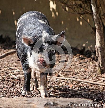 Kune Kune pig animal