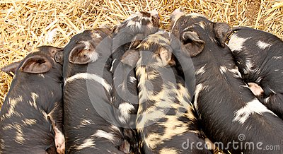 Kune Kune Piglets sleeping together to keep warm