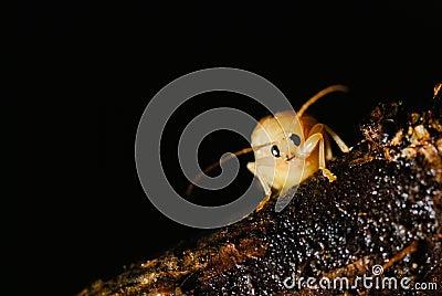 KungFu bug