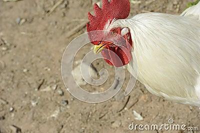 Kurczak plenerowy