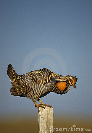Kurczaka fencepost preryjny target2042_0_