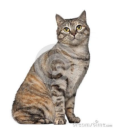 Free Kurilian Bobtail Cat, 1 Year Old Royalty Free Stock Photography - 24991717