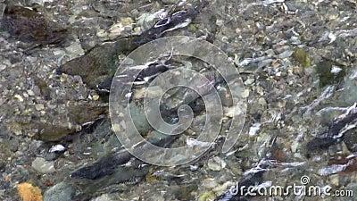 Kurs von den Lachsfischen, zum gegen den Wasserstrom in Alaska zu laichen stock video footage