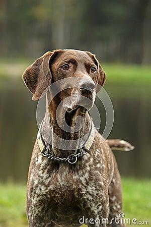 Free Kurzhaar Dog Royalty Free Stock Images - 26834139