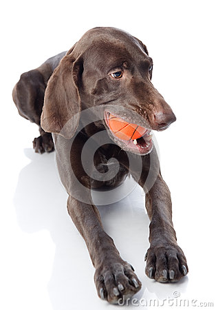 Free Kurzhaar With Toy. Royalty Free Stock Photo - 40606995