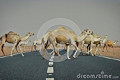 Kuwait: Camel crossing
