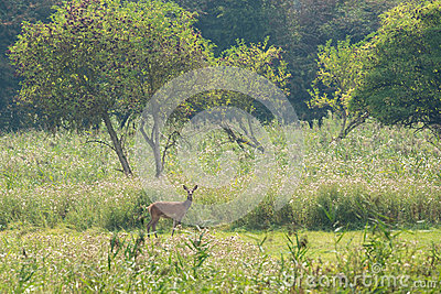 Kvinnliga hjortar