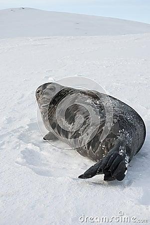 Kvinnliga Weddell förseglar att ligga på en skida sluttar.