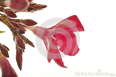 Kwiat czerwień zimnotrwała oleandrowa