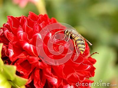 Kwiat czerwonej osa