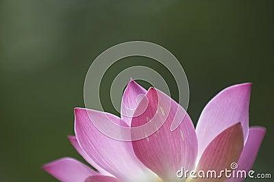 Kwiat lotos