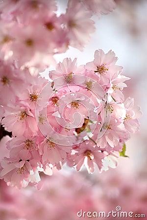 Kwiat wiśni
