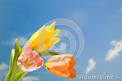 Kwiatu wiosna tulipany