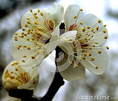 Kwiaty śliwki