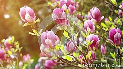 Kwiaty magnolia na tle światło słoneczne zbiory