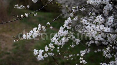 Kwitnący ogród wiosenny w słoneczny dzień Gałęzie kwitnących drzew unoszą się na wietrze zbiory