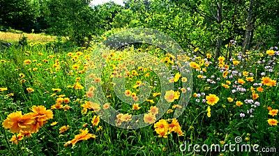 Kwitnie dzikiego