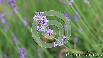 kwitnie lawendowe purpury zbiory
