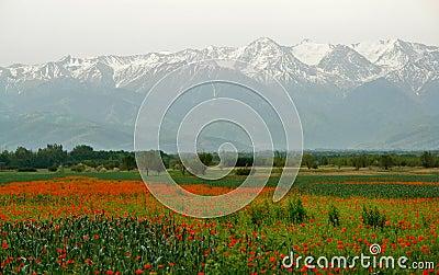 Kyrgyzstan Poppy field