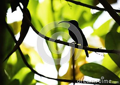 Lång silhouette för näbbskägg