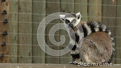 Lémur animal mamífero almacen de metraje de vídeo