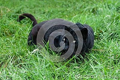 Léopard noir égrappant dans la longue herbe