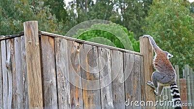 Lêmur de cauda anelar desce da plataforma de madeira no exterior filme