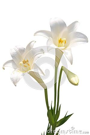 Lírio branco