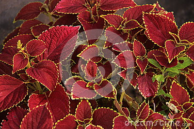 Lövrik röd växt