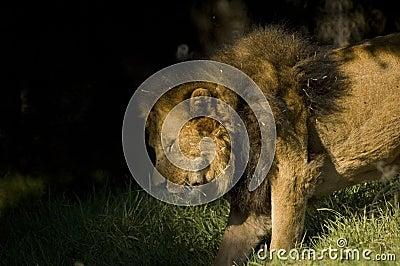 Löwe, der auf Schatten sich bewegt