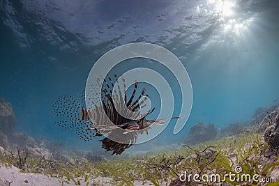 Löwefische auf dem Prowl