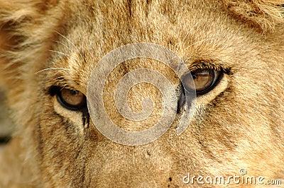 Löwenahaufnahme