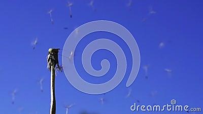 Löwenzahn sät Flugwesen im blauen Himmel stock footage