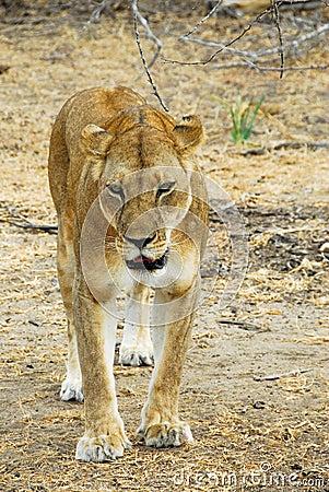 Löwin, die im Selous Vorbehalt sich anpirscht
