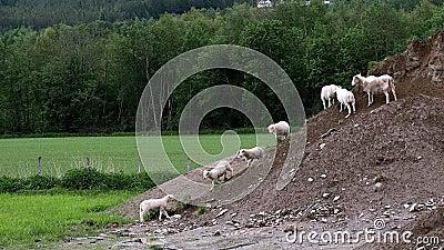 L'adorable petit agneau quitte l'herbe verte pour rejoindre d'autres agneaux et moutons qui explorent un tas de terre banque de vidéos