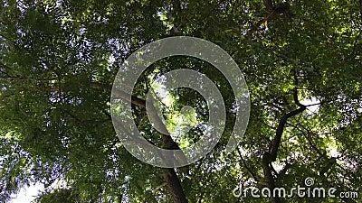 L'albero verde del salice sta muovendosi nel vento sul fondo blu del cielo nuvoloso video d archivio