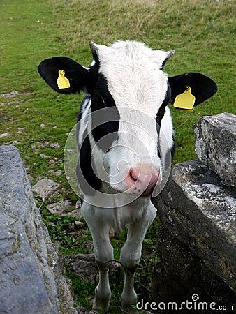 L Angleterre : veau avec le mur de pierres sèches